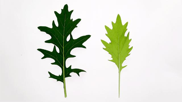ίδιο φυτό, καλλιεργημένο σε διαφορετικές συνθήκες